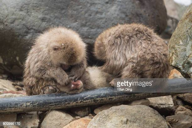 Japanese macaques also known as snow monkey relax on a hot spring pipe at the Jigokudani Yaenkoen wild snow monkey park in Jigokudani Valley on...