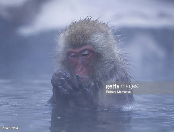 Japanese macaques counting.
