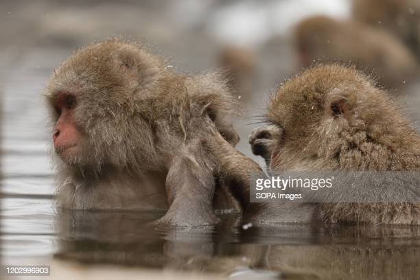 Japanese macaques enjoy a hot spring Jigokudani Yaenkoen was opened in 1964 and its known to be the only place in the world where monkeys bathe in...