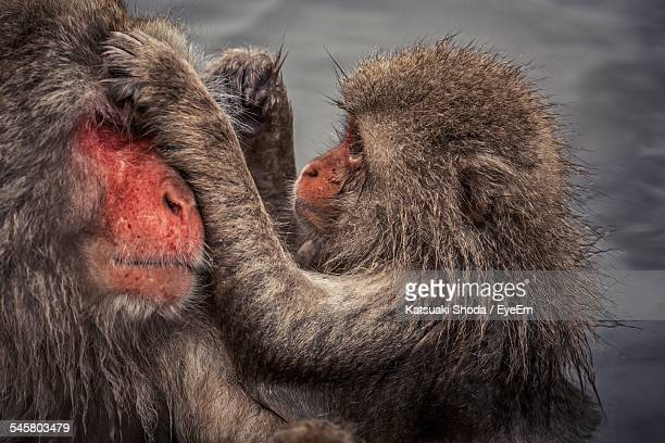 Japanese Macaques Grooming In Hot Spring