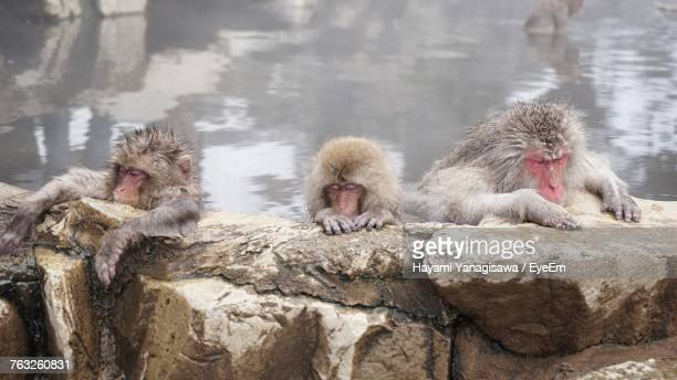 Japanese Macaques In Hot Spring During Winter