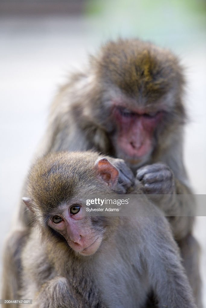 Japanese macaques (macaca fuscata) monkeys, one monkey cleaning other : Stock Photo