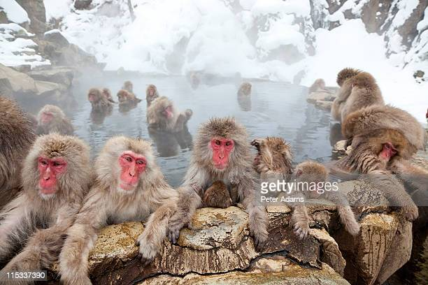 japanese macaques or snow monkeys, japan - large group of animals stock pictures, royalty-free photos & images