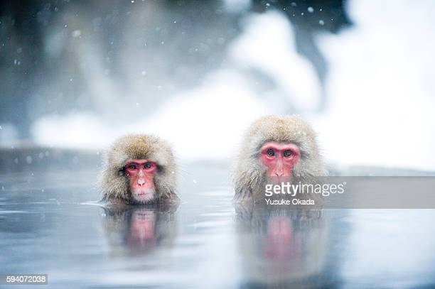 japanese macaques - 一月 ストックフォトと画像