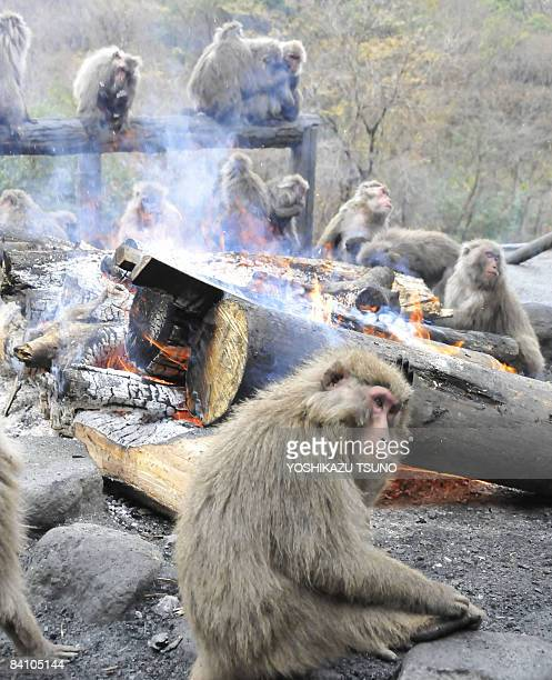 Japanese macaques relax around an open fire to keep warm at Japan monkey center in Inuyama city in Aichi prefecture central Japan on December 22 2008...