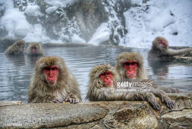 japanese macaques relaxing in hot spring during winter - 猿 ストックフォトと画像
