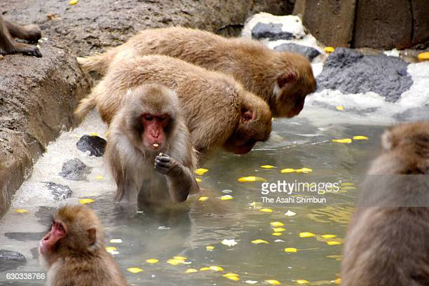Japanese macaques take yuzu floating hot spring bath on the winter solstice day at Fukuoka City Zoological Garden on December 21 2016 in Fukuoka...