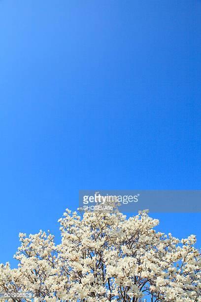 Japanese Magnolia and sky