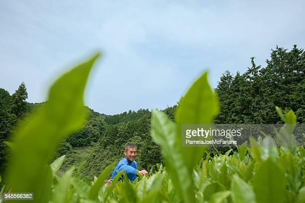Japanese Man in Plantation Picking the Top Premium Tea Leaves