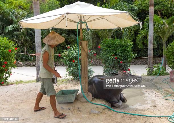 Japanese man spreading perfume on a water buffalo Yaeyama Islands Taketomi island Japan on September 1 2017 in Taketomi Island Japan
