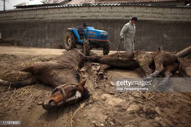 A japanese man surveys two dead horses within the exclusion zone about 12 miles away from Fukushima Nuclear Power Planton April 7 2011 in Minamisoma...