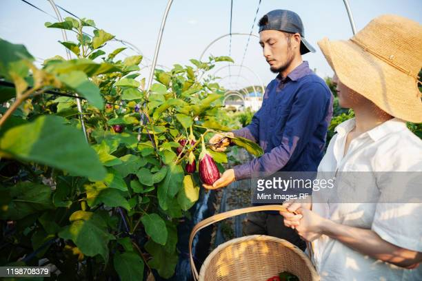 japanese man wearing cap and woman wearing hat standing in vegetable field, picking fresh aubergines. - agricultural activity stock pictures, royalty-free photos & images
