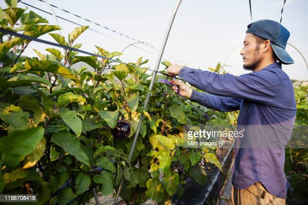 japanese man wearing cap standing in vegetable field, adjusting strings around plants. - 栽培する ストックフォトと画像