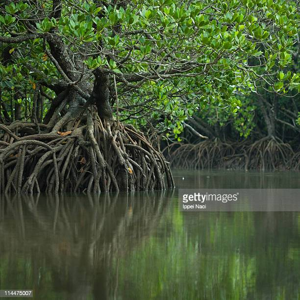 japanese mangrove forest and calm river, okinawa - ippei naoi stock photos and pictures