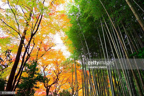 Japanese Maple and Bamboo Trees