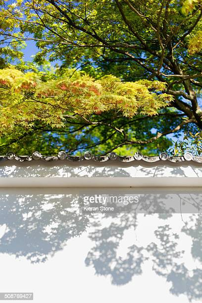 Japanese maple and wall