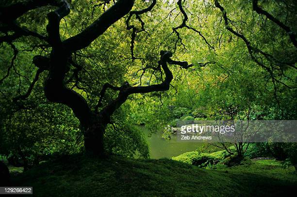 Japanese maple at spring