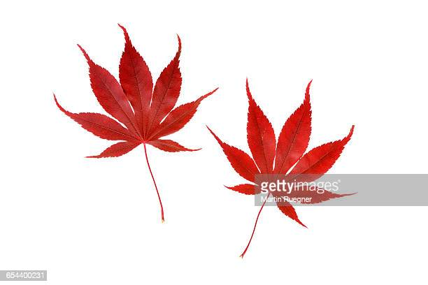 japanese maple autumn leaves. - esdoorn stockfoto's en -beelden