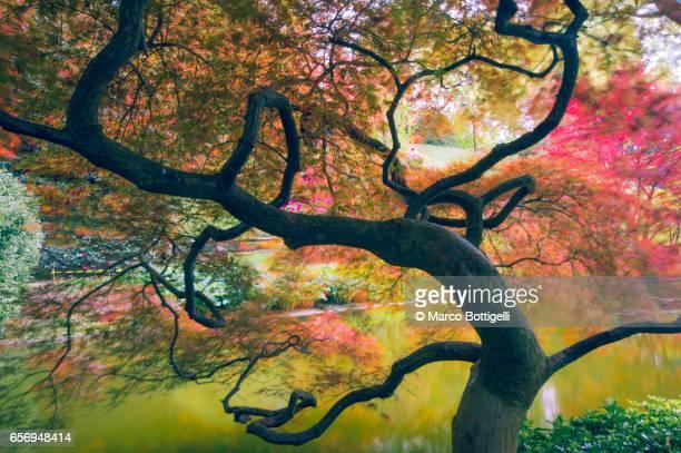Japanese maple. Bellagio, Italy.