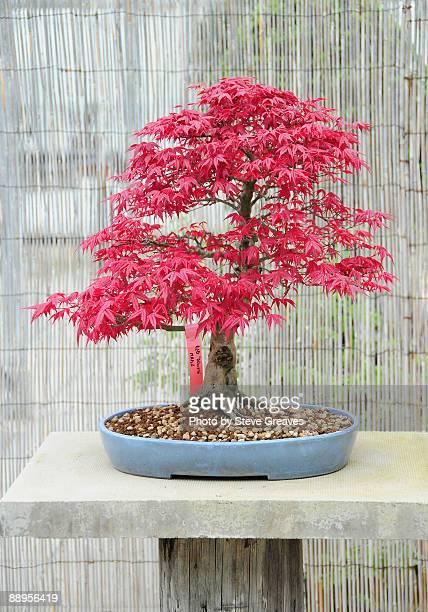 Japanese Maple Bonsai Tree Acer Palmatum 'Deshojo'