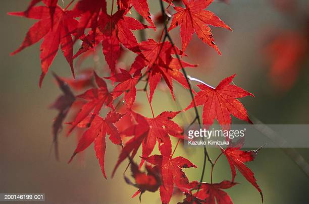 japanese maple (acer palmatum), fall - kazuko kimizuka stock pictures, royalty-free photos & images
