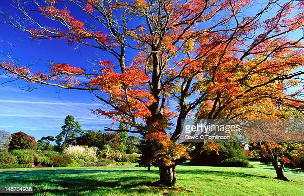 japanese maple (acer palmatum) in autumn at wakehurst place. - west sussex stock pictures, royalty-free photos & images