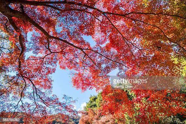 Japanese maple in autumn season