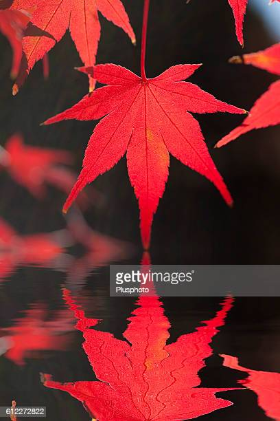 Japanese maple leaf and it's reflection on water
