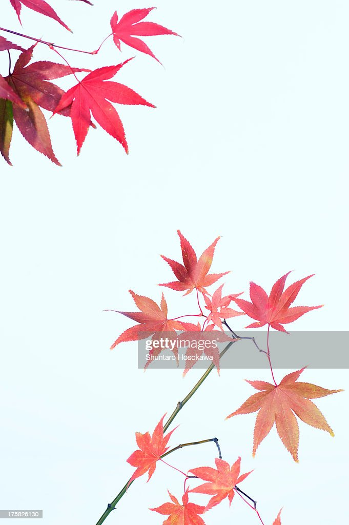 Japanese maple leafs in shades of pink : Stock Photo