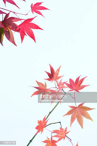 Japanese maple leafs in shades of pink