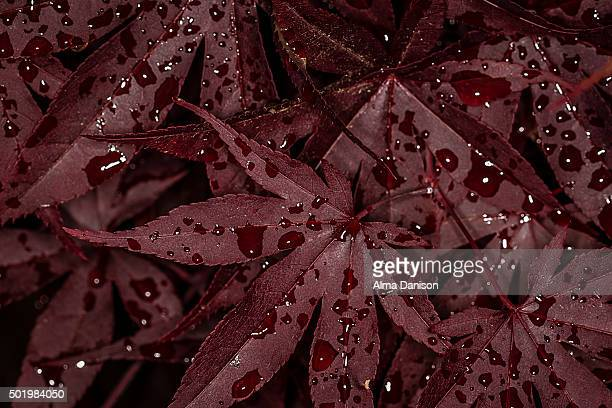japanese maple leaves after rain - alma danison stock photos and pictures