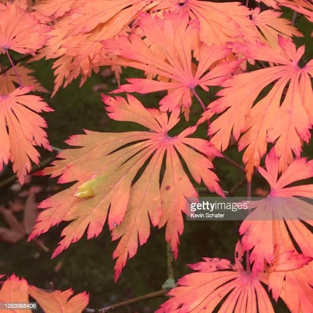 """japanese maple leaves, (acer japonicum """"aconitifolium"""") autumn - maple leaf stock photos and pictures"""