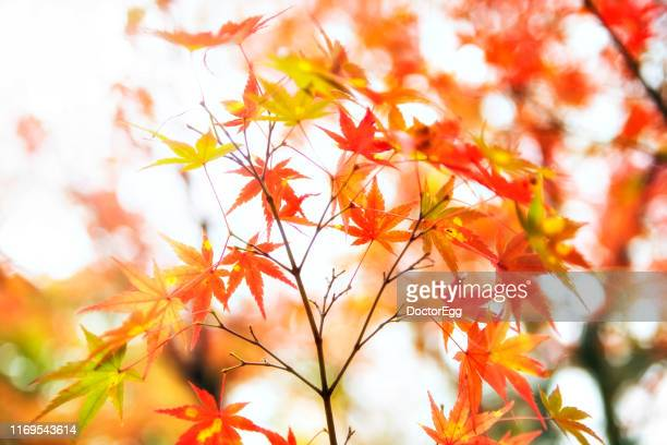 japanese maple leaves in autumn, kyoto, japan - 紅葉 ストックフォトと画像