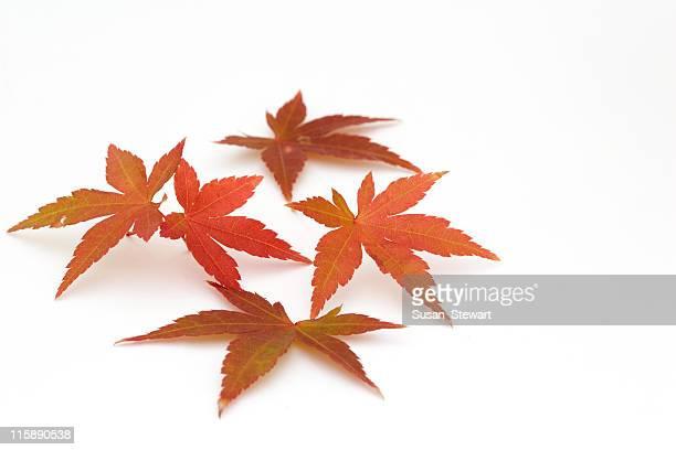 Japanische Ahorn Blätter