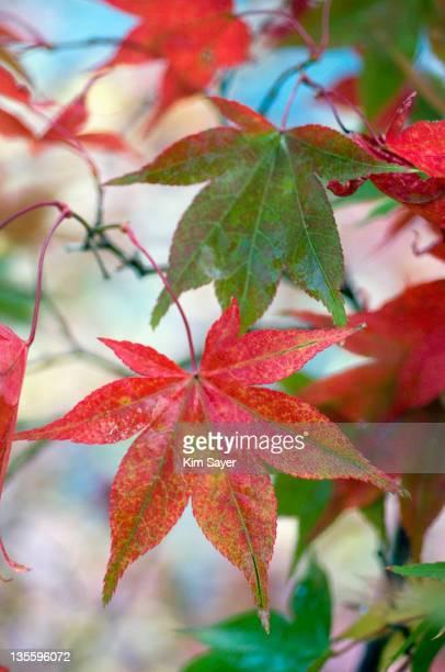 Japanese maple (Acer palmatum), November