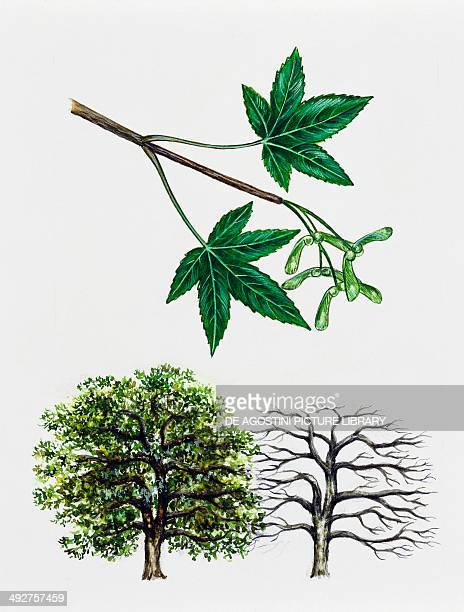 Japanese Maple or Smooth Japanese Maple Aceraceae tree with and without foliage leaves flowers and fruits illustration