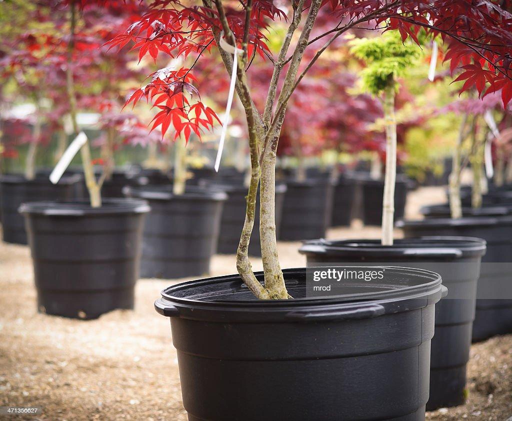 Japanese Maple : Stock Photo
