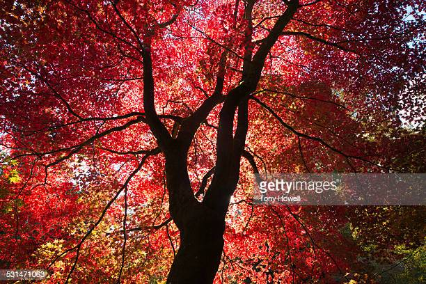 japanese maple - tony howell stock pictures, royalty-free photos & images