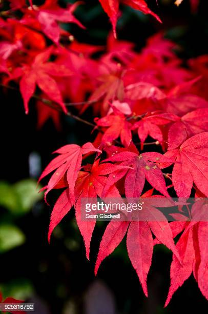 japanese maple - japanese maple stock pictures, royalty-free photos & images