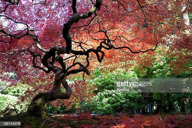 japanese maple tree in autumn - japanese garden stock photos and pictures