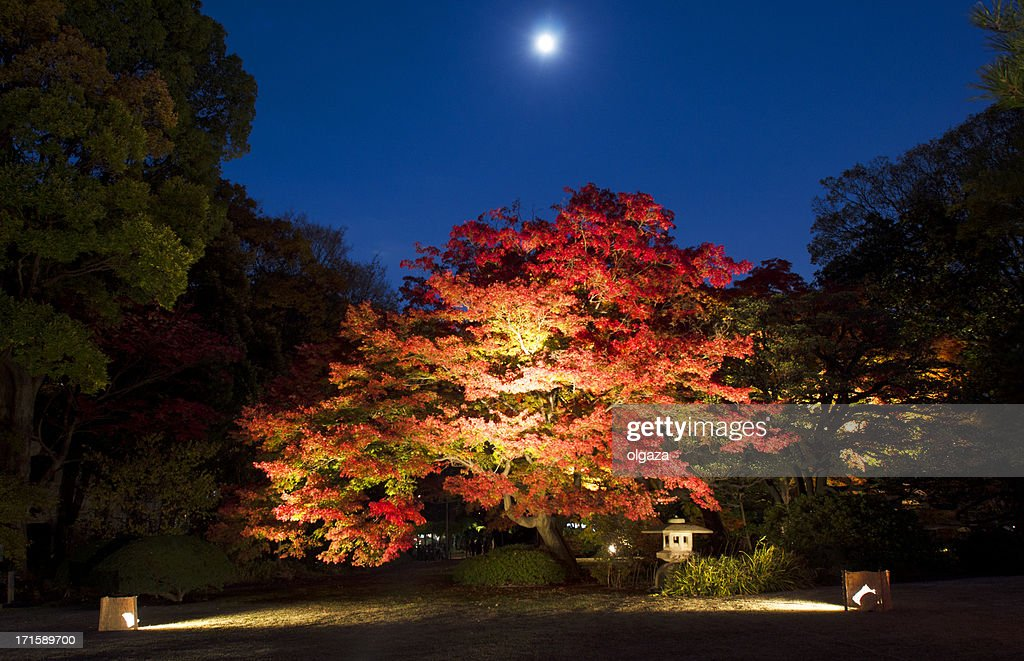 Japanese maple tree in full moon night : Stock Photo