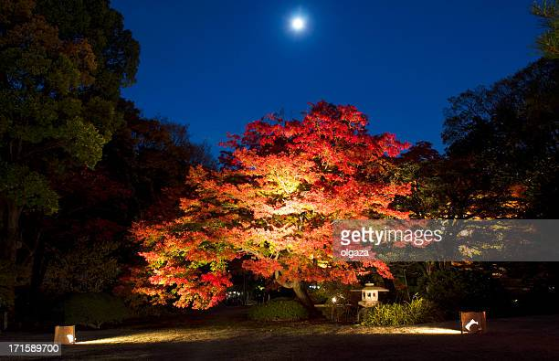Japanese maple tree in full moon night