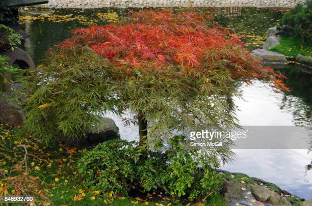 japanese maple tree in kyoto garden, a japanese-style garden, in holland park, kensington, london, england, united kingdom - holland park stock pictures, royalty-free photos & images