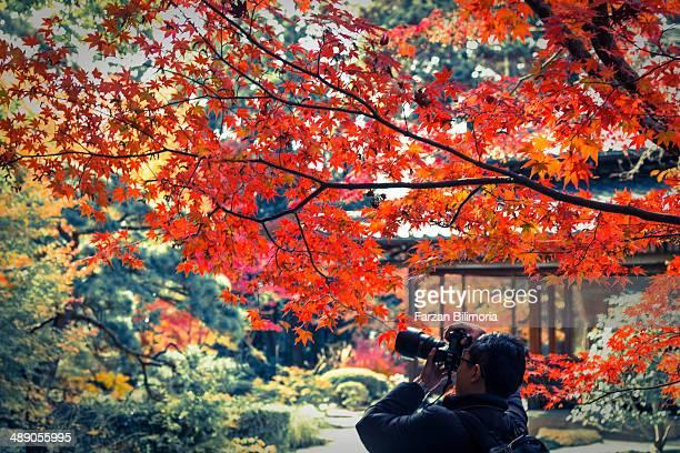 Japanese maple tree in Kyoto Japan