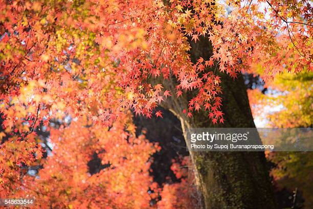 japanese maple tree in kyushu