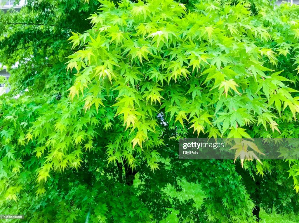 Japanese maple tree in the rain : Stock Photo