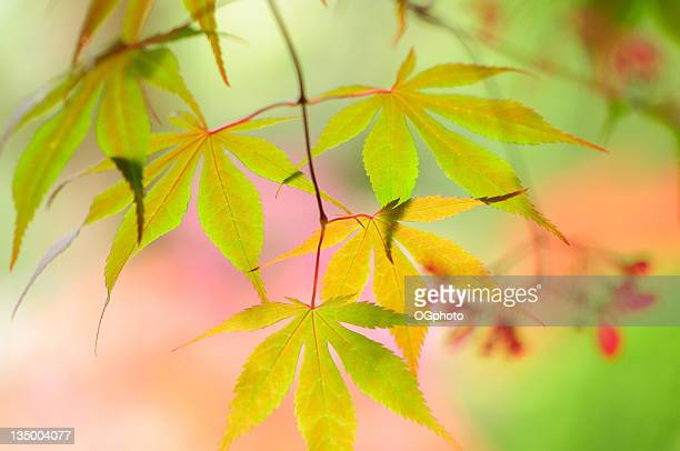 japanese maple tree leaves - ogphoto stock pictures, royalty-free photos & images