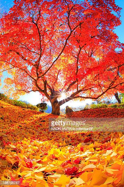 japanese maple tree, nagano prefecture, japan - single tree stock pictures, royalty-free photos & images