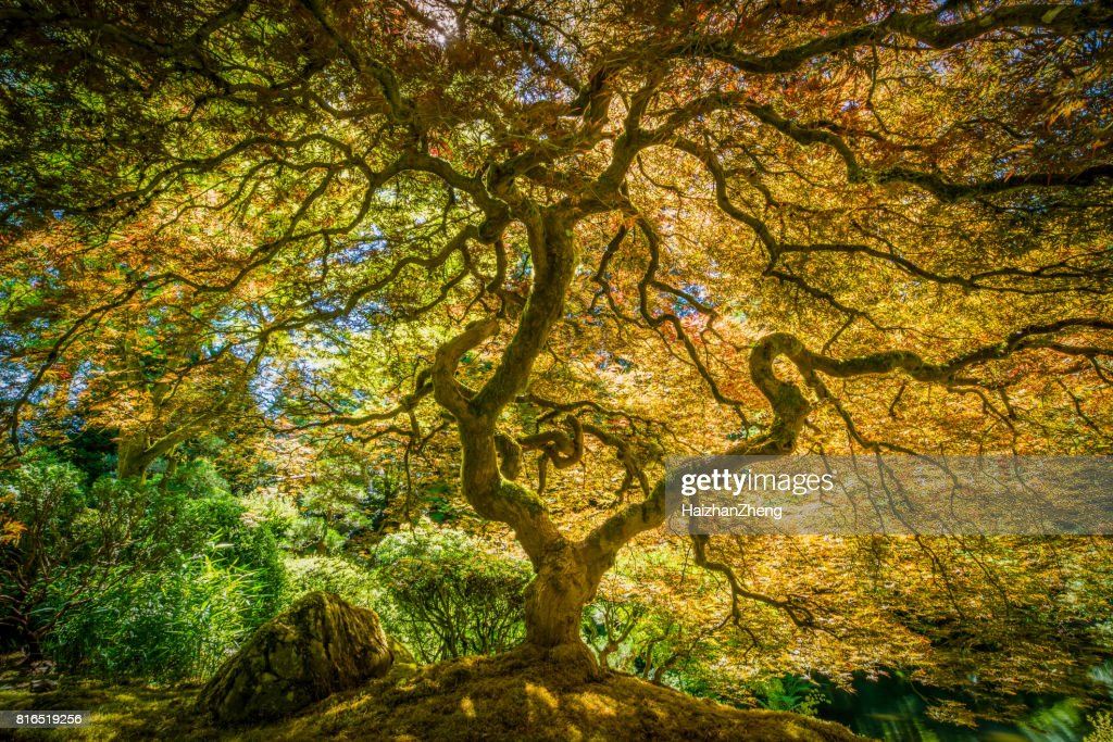 Japanese Maple Tree : Stock Photo