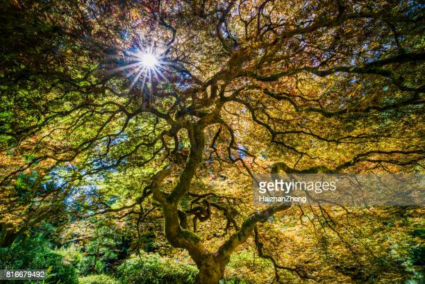 japanese maple tree - japanese garden stock photos and pictures